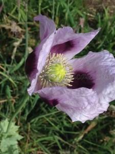 "Papaver Somniferum ""Hawaii Purple Haze"" Opium Poppies"