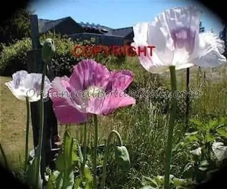 Super Colossus Poppy Flowers