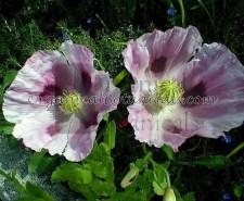 Tasmanian Somniferum Poppy