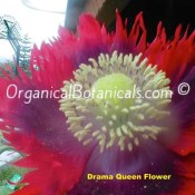 Drama Queen Papaver Somniferum Poppy Flower