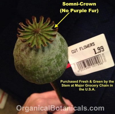 Fresh Somniferum Opium Poppy Pod Sold at grocery Store in USA