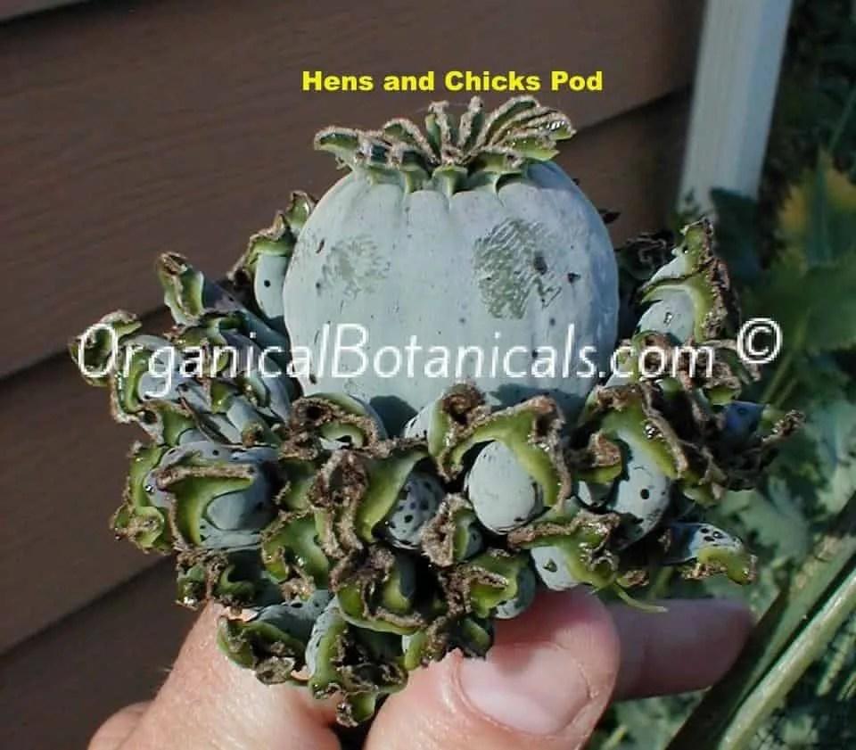 Hens and Chicks Papaver Somniferum Poppy w+ Unique, Odd Pod