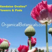 Hollandaise Ovalies Papaver Somniferum Poppy Flowers and Pods