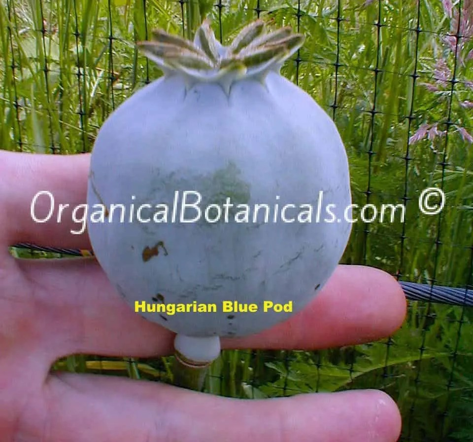 Hungarian Blue Papaver Somniferum Poppy Seed Pod