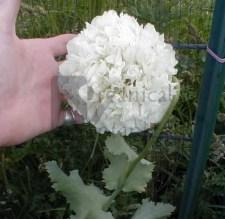 White Cloud Somniferum Poppy Flower