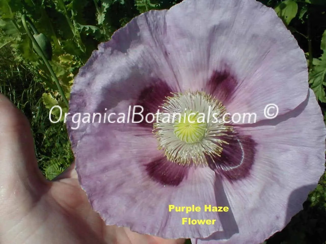 Purple Haze Papaver Somniferum Poppy Flower