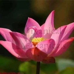 Pink Sacred Lotus Seeds, NELUMBO nucifera - Viable
