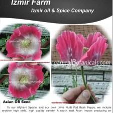 Izmir Asian OB Papaver Somniferum Poppy