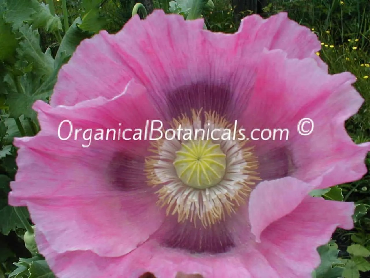 Afghan Pink Sunset Papaver Somniferum Poppies