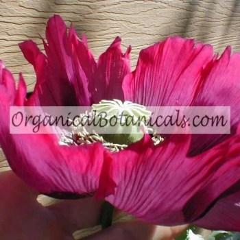 Purple-Neon Blue Papaver Somniferum Poppy Flower