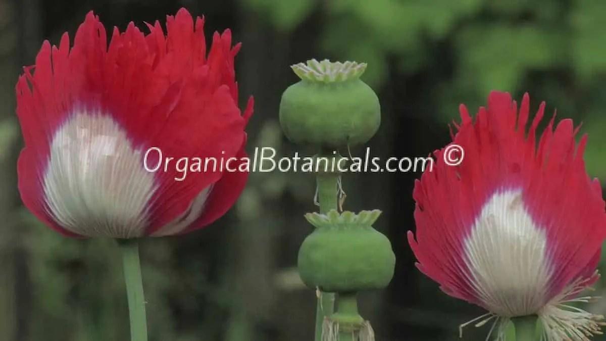 Danish Flag Papaver Somniferum Afghan Opium Poppies
