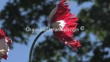 Danish-Flag-Papaver-Somniferum Afghan Opium-Poppies
