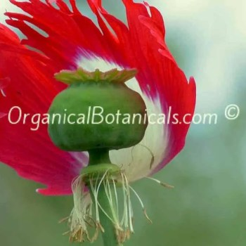 Danish Flag Papaver Somniferum Afghan Opium-Poppy-Flower pod