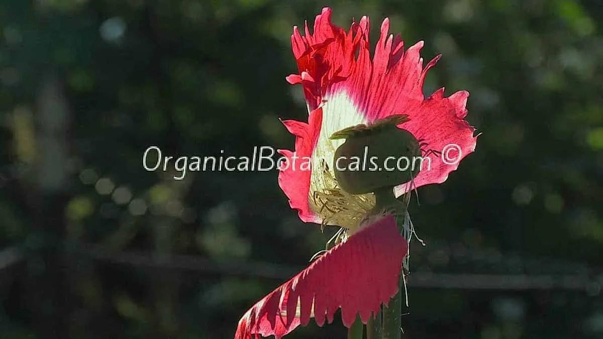 Danish Flag Papaver Somniferum-Afghan Opium Poppy Pod and Flower