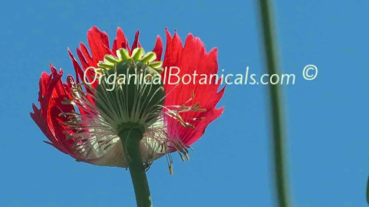 Danish Flag Papaver Somniferum Afghan Opium-Poppy-pod and flower