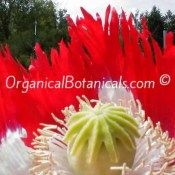 Danish Flag Papaver Somniferum Opium Poppy Flower