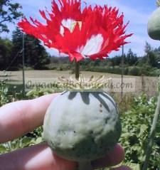 Danish Flag RED n WHITE Papaver Somniferum Afghan Opium Poppy Seed Pod and Flower