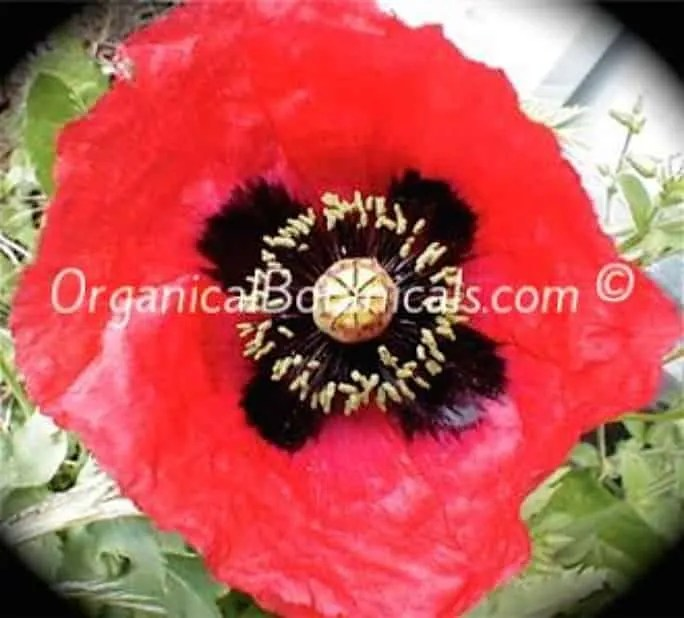 Papaver Setigerum Poppy Seeds - Organical Botanicals