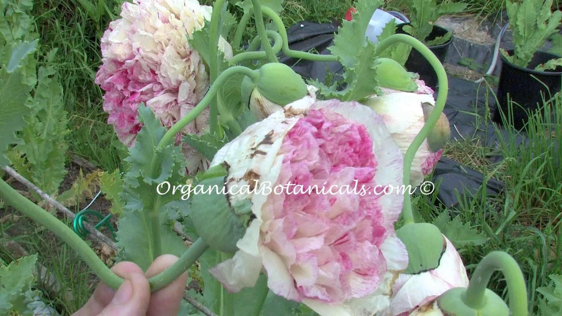 Pink Flemish Antique Double Peony Somniferum Poppy Seeds