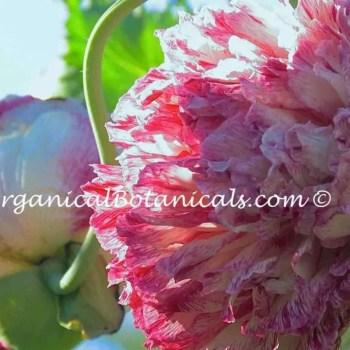 Pink Blemish Peony Papaver Somniferum Poppy Flower Seeds