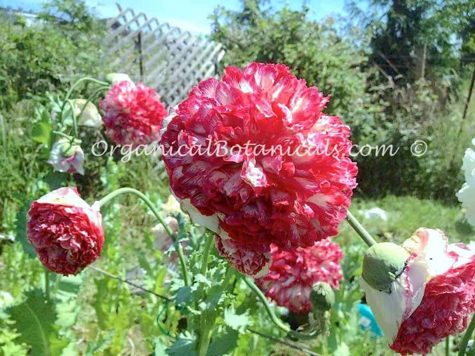 Pink flemish antique double peony somniferum poppy seeds pink flemish antique peony papaver somniferum poppies mightylinksfo