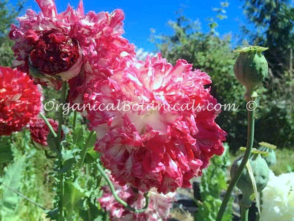 Pink Flemish Antique Peony Papaver Somniferum Poppies