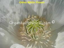 China White Papaver Somniferum Poppy Seeds – VIABLE
