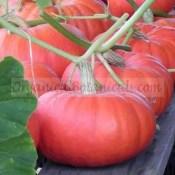 Cinderella Pumpkin Seeds rouge vif detampes untreated