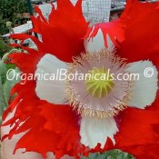 Danish Flag-Papaver Somniferum Poppy Flower
