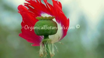 Danish Flag Papaver Somniferum Afghan Opium Poppy Flower pod