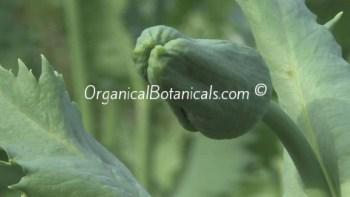Papaver Somniferum Poppies Pre-Bloom Stage