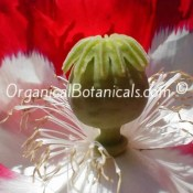 Danish Flag RED n White Papaver Somniferum Afghan Opium Poppy Flower