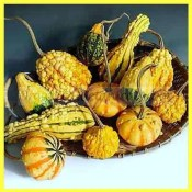 Gourd Fancy Warted Mix Seeds