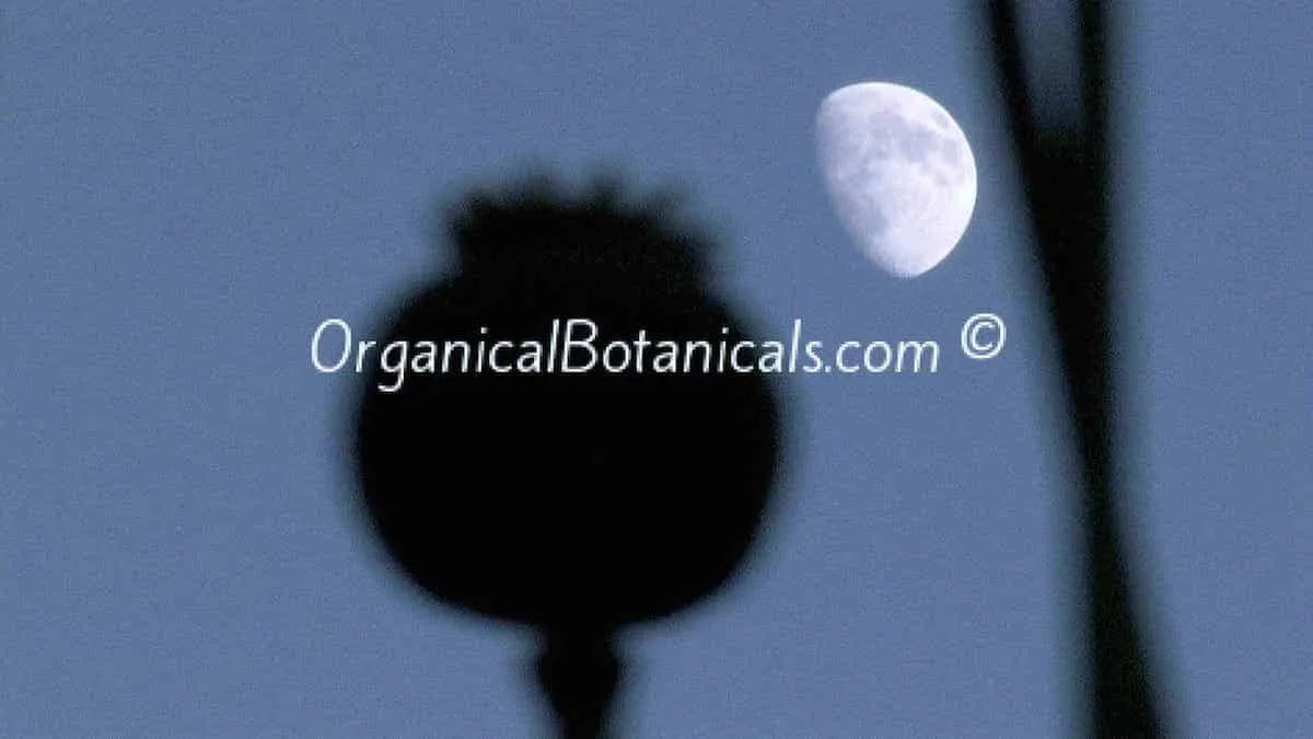 Somniferum Poppy Silhouette