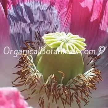 Jumbo Turkish Oval Poppy