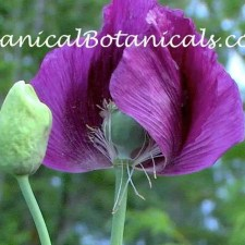 Laurens Grape Deep Purple Papaver Somniferum Opium POPPY Flower by- Organical Botanicals