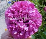 Lavender Peony PAPAVER SOMNIFERUM POPPY