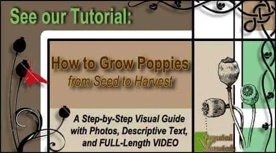 [TUTORIAL] How to Grow Somniferum Opium Poppies
