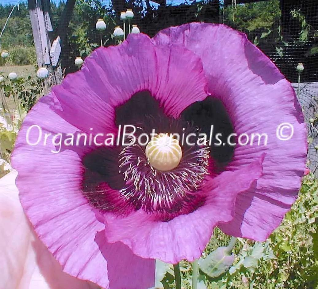 Hungarian Blue Poppy Flower – Somniferum