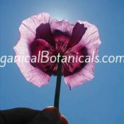 Persian Blue Somniferum Poppy