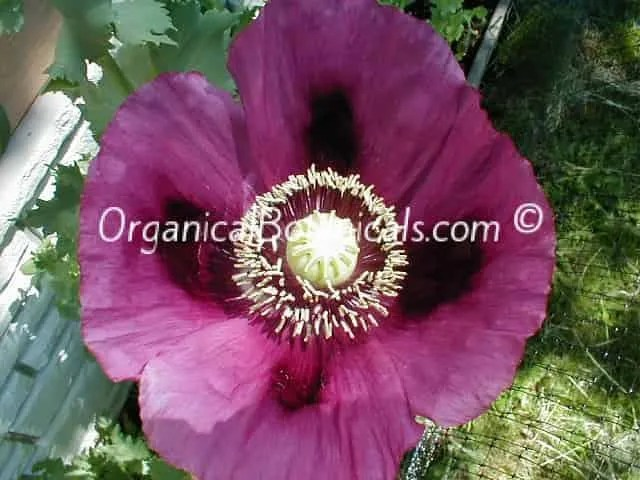 Persian blue papaver somniferum poppy seeds organical botanicals persian blue somniferum poppy flower mightylinksfo