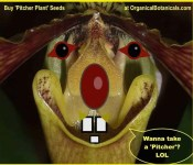 pitcher plant seeds organicalbotanicals