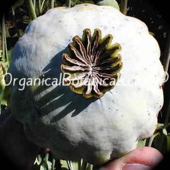 Super Colossus Papaver Somniferum Poppy seed Pod
