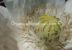 White Papaver Somniferim Flower