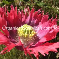 Hens and Chicks Poppies Papaver Somniferum Poppy FLOWER