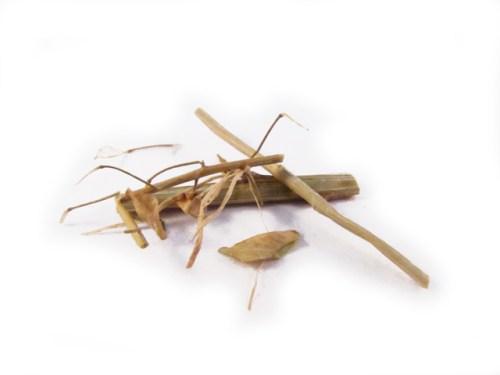 Bai Jiang Cao (Nan) (Thlaspi) - Organic Chinese Herbs