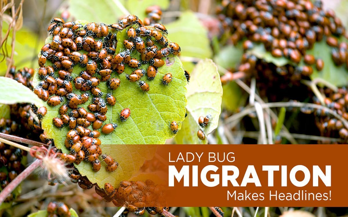 LADY BUG MIGRATION MAKES HEADLINES