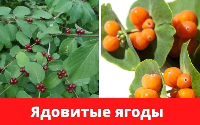 Жимолость; полезные свойства и противопоказания, вкус ягод и состав, применение в народной медицине