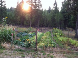 Sunrise in the Organic Mini-Farm Garden