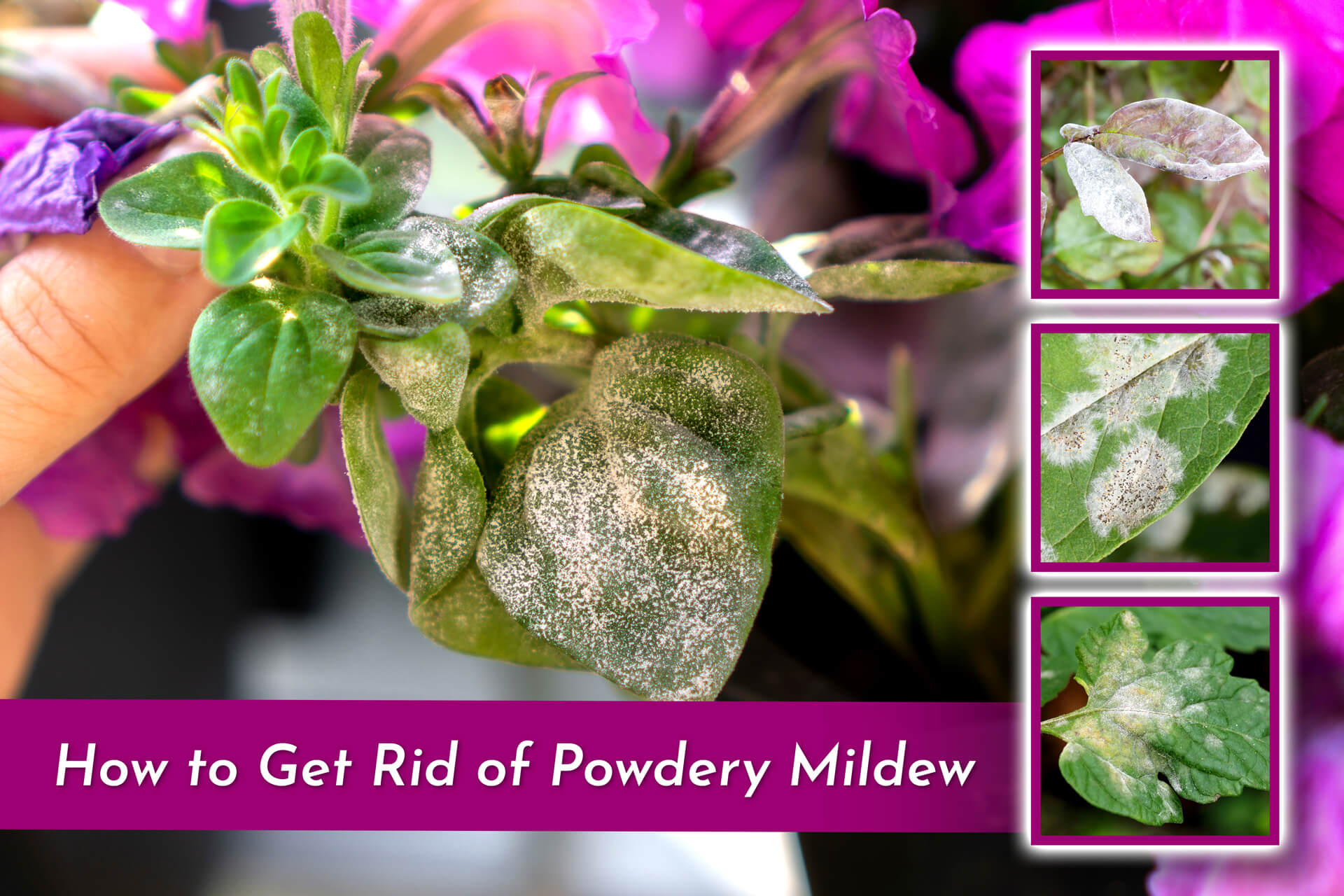 photo of beautiful violet plant with powdery mildew on leaves with three square images of other sample diseased leaves